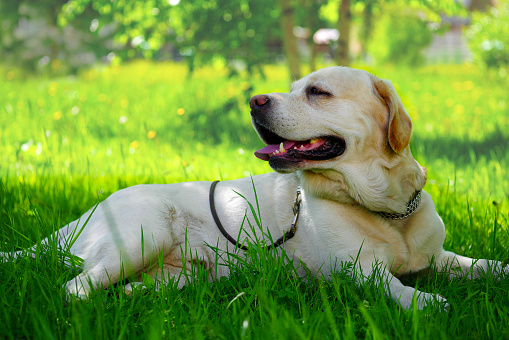 adult golden retriever labrador laying on grass in the shade