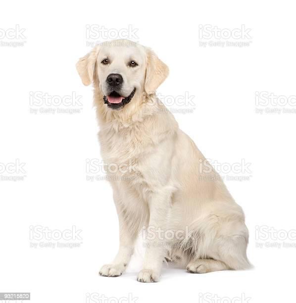 Adult golden retriever sitting picture id93215820?b=1&k=6&m=93215820&s=612x612&h=rxosovrztfschwiduupmj8phfb owlylqinzbbegl5u=