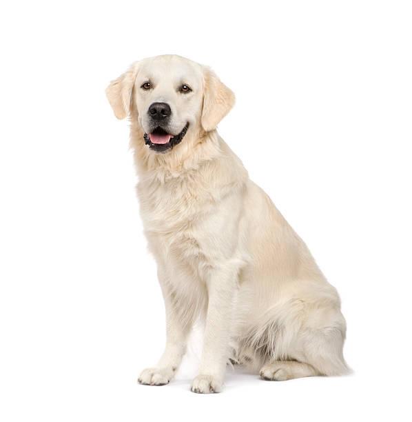 Adult golden retriever sitting picture id93215820?b=1&k=6&m=93215820&s=612x612&w=0&h=4qlb9wmro7g1cgbipnkkzscd53cx3ib88juaaqsk9vc=
