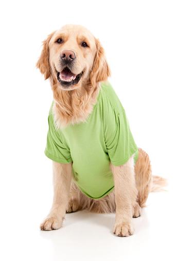 Adult golden retriever wearing a green t-shirt