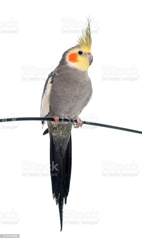 adult gray Cockatiel stock photo