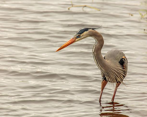 Adult Great Blue Heron Stalking its Prey stock photo