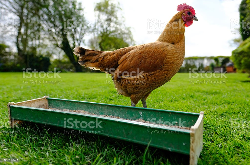 Adult hen by a chicken feeder in late spring stock photo