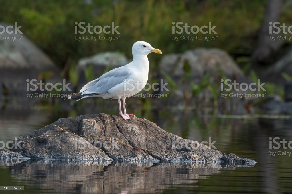 Adult Herring Gull perched on a rock - Ontario, Canada stock photo