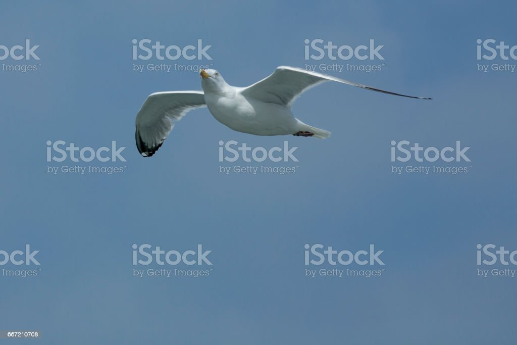 Adult herring gull soars over mouth of the Delaware River. stock photo