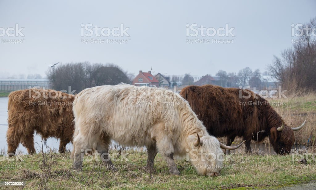 Adult Highland cattle.Three multicolored horned Highland Cattle grazing on the grass near the pond. White And Brown Cattle. Close up of scottish highland cow on european field. Hairy Cow on meadow. stock photo