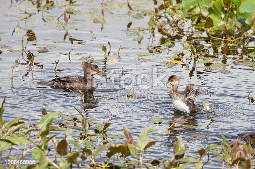Adult Hooded Merganser With Chick On The Right