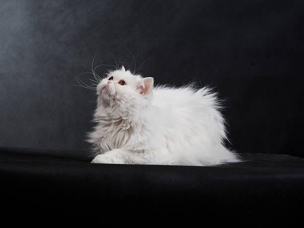 Cтоковое фото Взрослый Дом Персидская кошка белого цвета