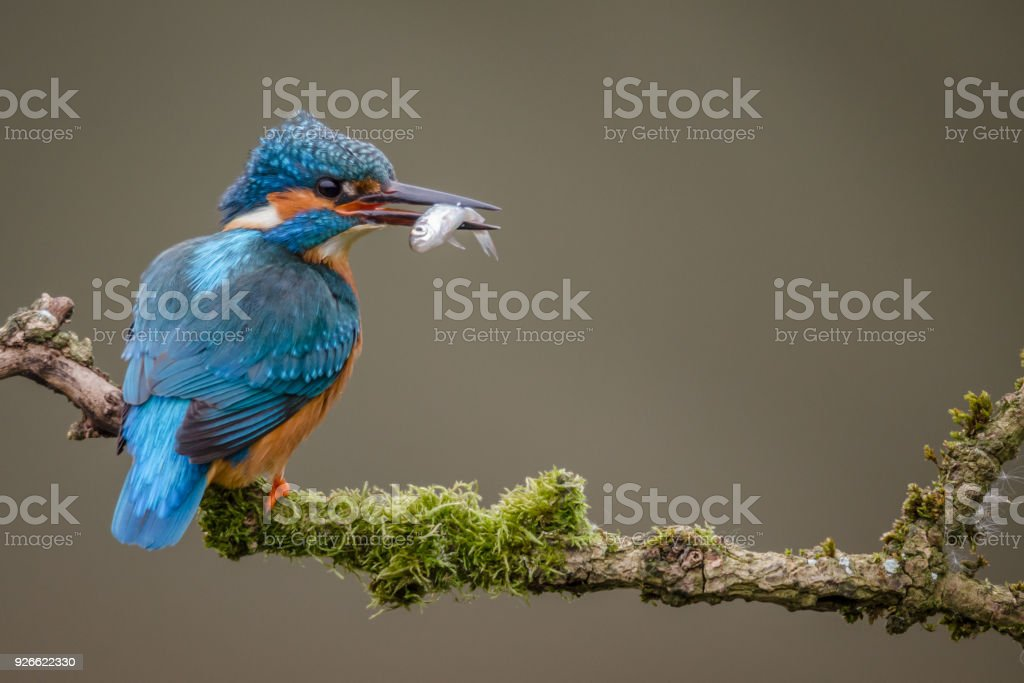 Adult Hunting Kingfisher stock photo