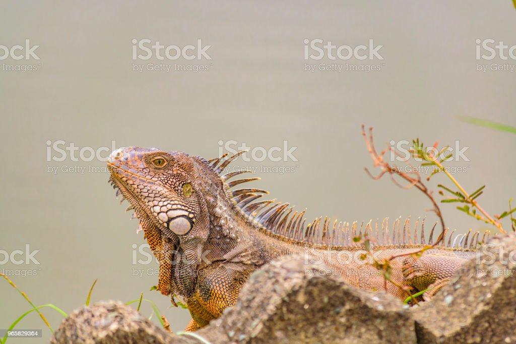 Adult Iguana at Shore of River - Royalty-free Animal Stock Photo