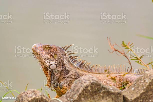 Volwassen Iguana Op De Oever Van De Rivier Stockfoto en meer beelden van Buitenopname