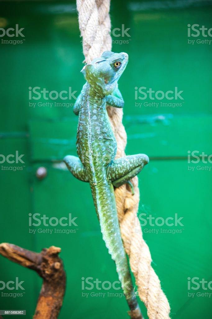 Adult iguana in a terrarium stock photo