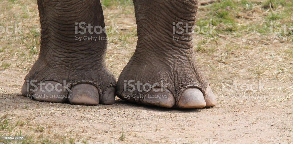 Adult Indian Elephant. стоковое фото