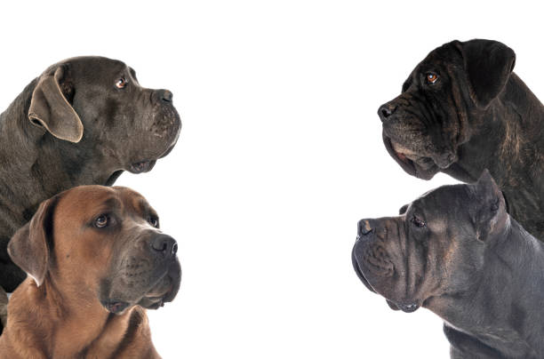 adult italian mastiff italian mastiffs in front of white background cane corso stock pictures, royalty-free photos & images