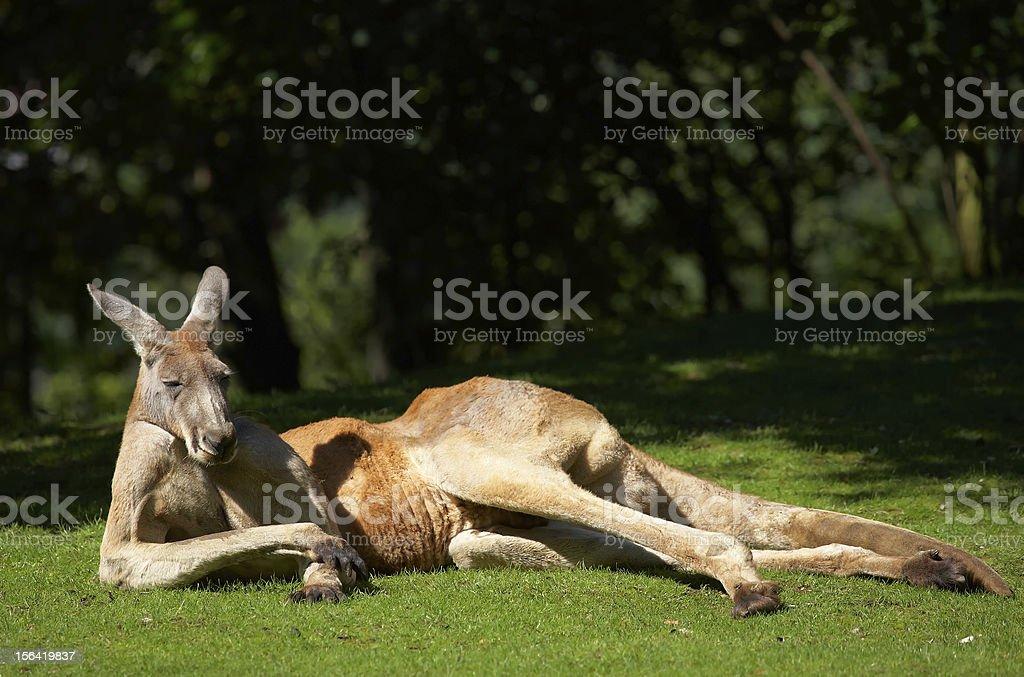 Adult kangaroo basking in the sunlight on green grass stock photo