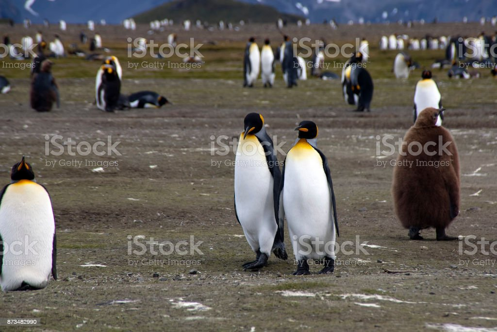adult king penguins with colony in background stock photo
