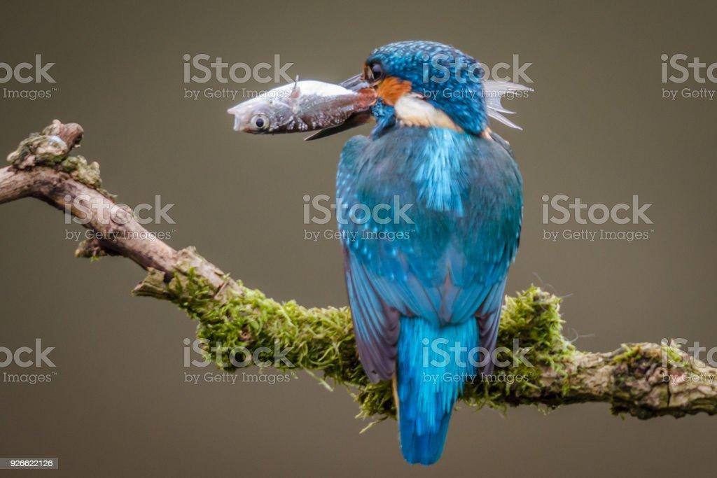 Adult Kingfisher Hunting stock photo