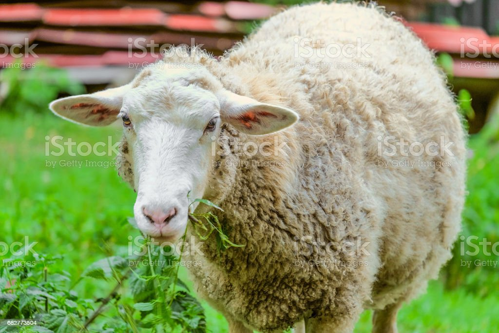 Adult large sheep eats green bush in the pasture. Agricultural scene with limited depth of field. stock photo