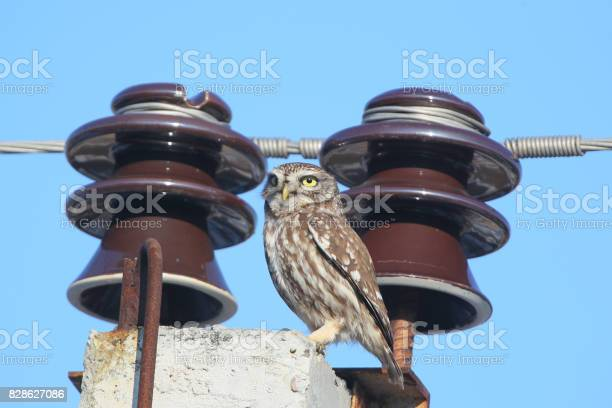 Adult little owl on electrical wires picture id828627086?b=1&k=6&m=828627086&s=612x612&h=ruaz bkrg9uvrjmbxdqanscedolmkqh45afw0e8atfy=
