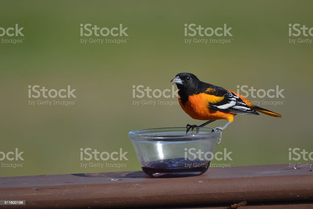Adult male Baltimore Oriole stock photo