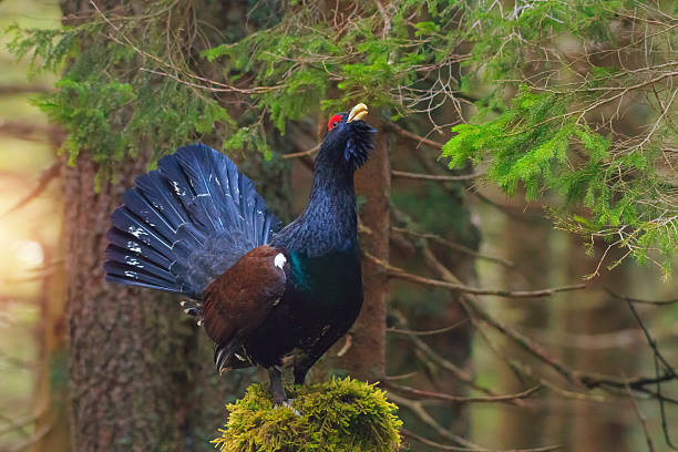 Adult Male Blue Capercaillie - Photo