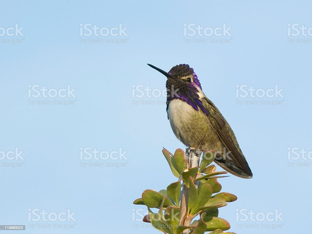 Adult Male Costa's Hummingbird royalty-free stock photo