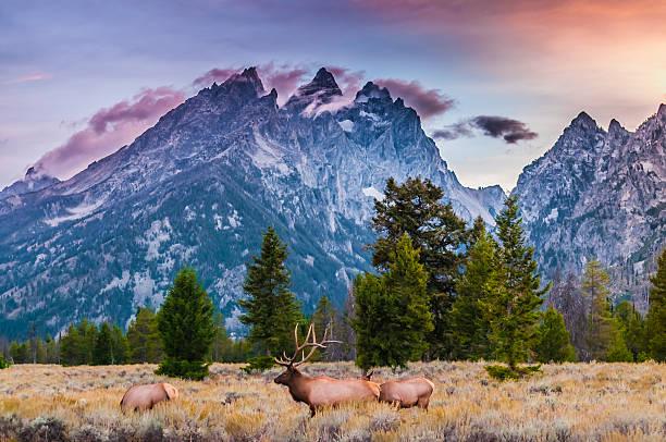 Erwachsene männliche Elk und seiner Herde-Grand Tetons – Foto