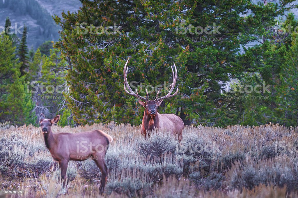 Adult Male Elk and his herd - Grand Tetons stock photo