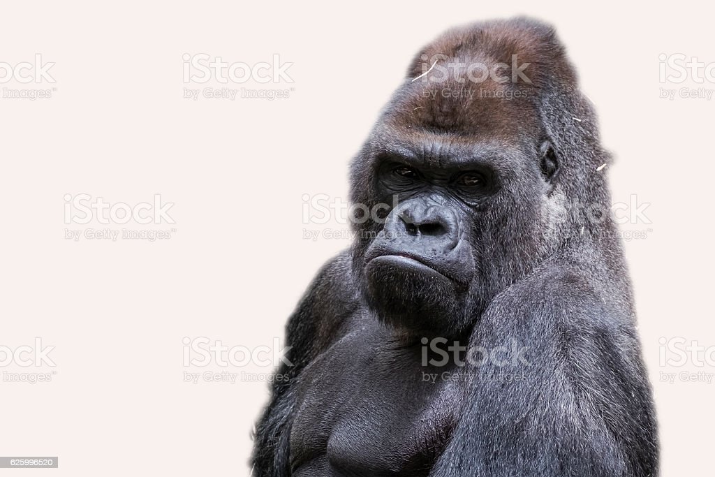 Adult male gorilla back silver stock photo