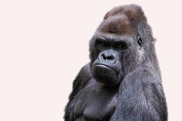 adult male gorilla back silver - gorila fotografías e imágenes de stock