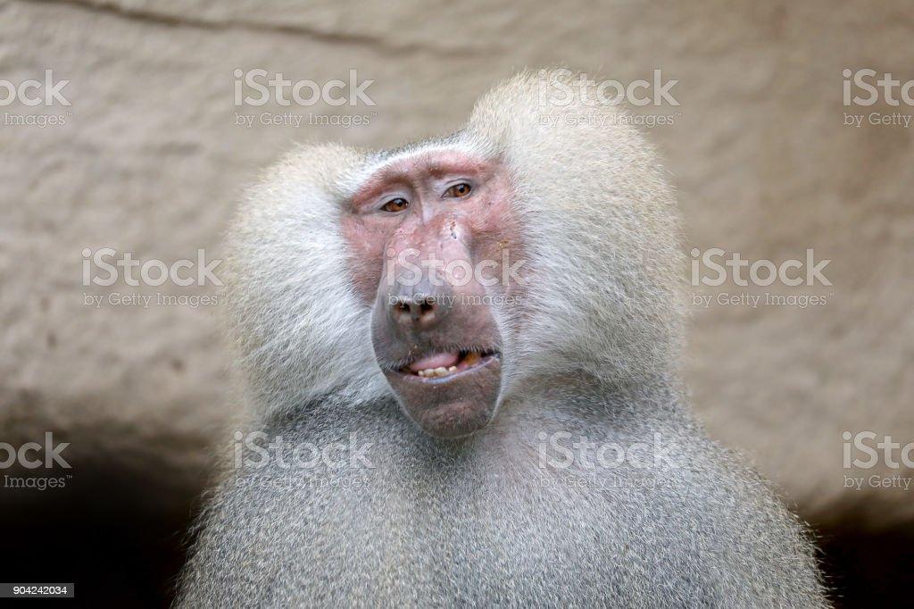 Adult Male Hamadryas Baboon stock photo