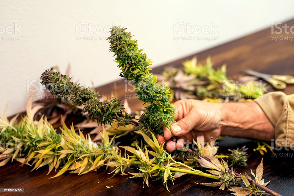 Adult male hands holding a trimmed cannabis plant royalty-free stock photo