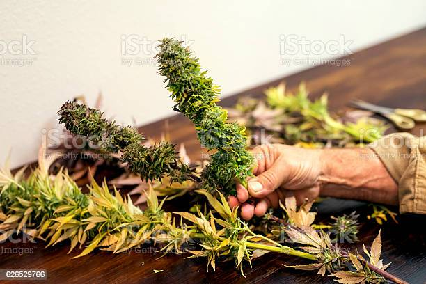 Adult Male Hands Holding A Trimmed Cannabis Plant Stock Photo - Download Image Now