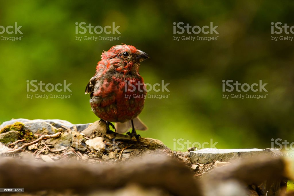 Adult Male House Finch (Haemorhous mexicanus) stock photo