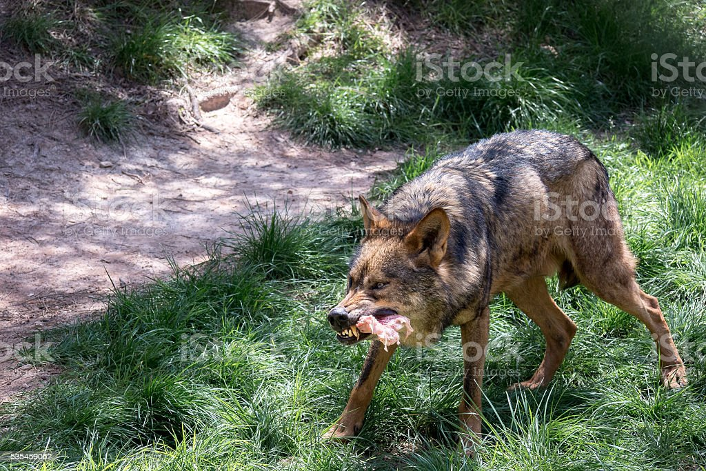 Adult male iberian wolf stock photo