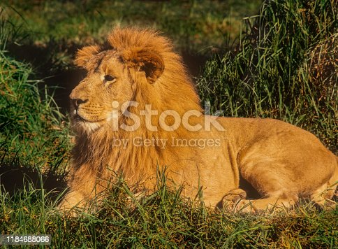 Portrait of resting male lion with majestic pose