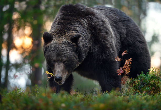 Adult male of Brown bear in the autumn forest stock photo