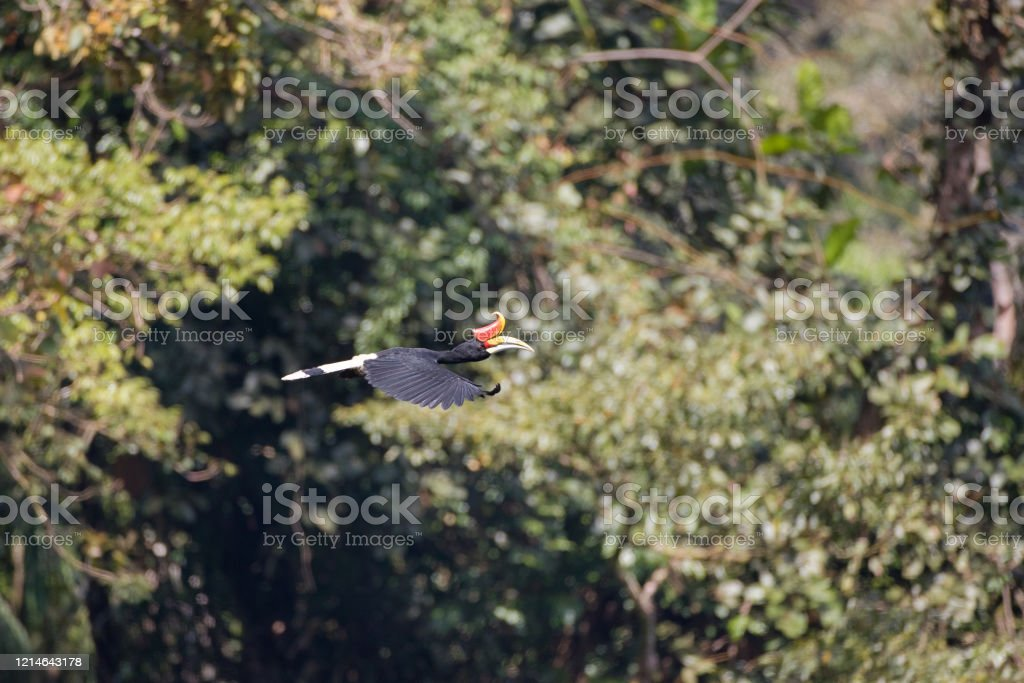 Adult Male Rhinoceros Hornbill Stock Photo Download Image Now Istock