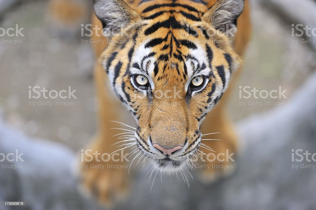 Adult male tiger watching the photographer royalty-free stock photo