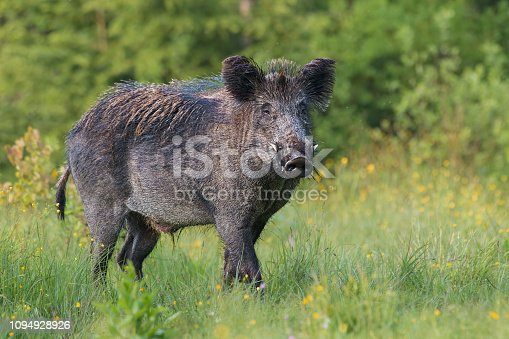 Adult male wild boar, sus scrofa, in spring fresh grassland with flowers. Dangerous wild animal with big tusks in natural forest green summer environment. Isolated strong male on blurred background.