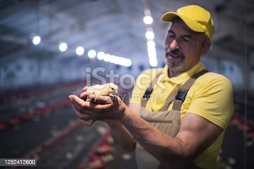 Manual worker holding baby chicken in professional chicken farm.