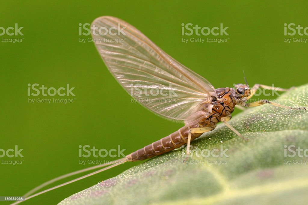 Adult Mayfly (Female) Olive Dun – Baetis tenax stock photo