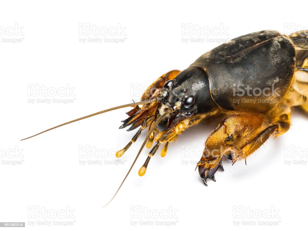 Adult Mole Cricket Orthoptera Pest Insect Isolated on White stock photo