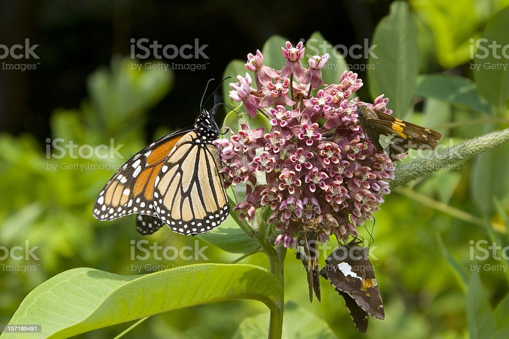 Adult Monarch butterfly at Shenandoah national park stock photo