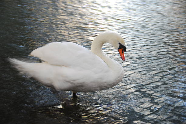 Adult Mute Swan Bathing stock photo