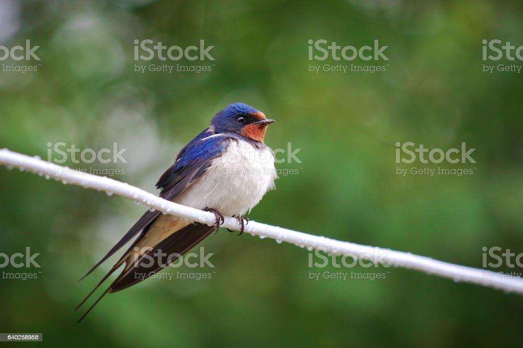 Adult nestling barn swallows (Hirundo rustica) stock photo