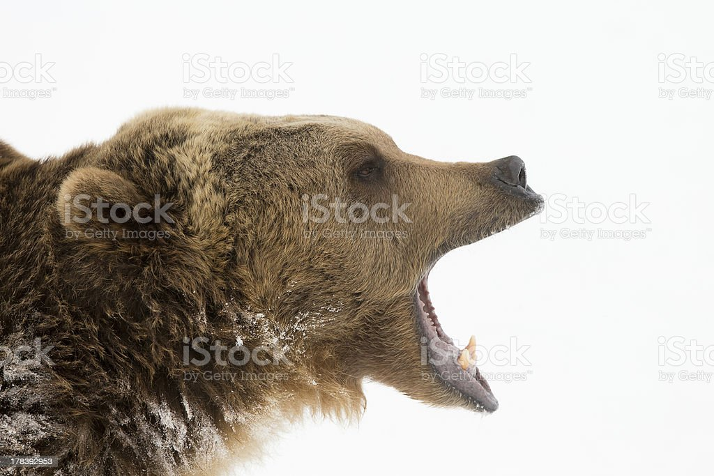 Adult North American Grizzly Bear royalty-free stock photo
