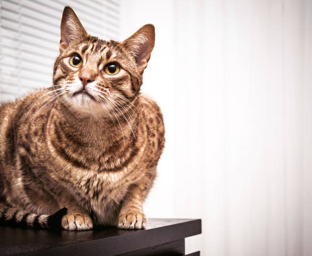 gatto ocicat adulto, occhi verdi tabby animale domestico, indoor - ocicat foto e immagini stock