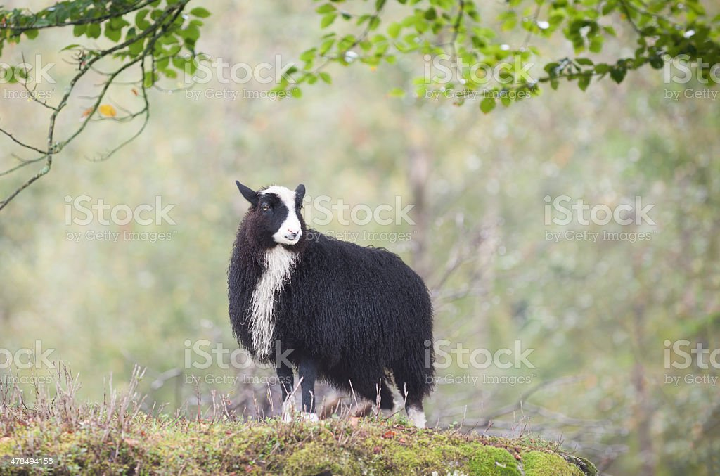 Adult Old Norwegian Sheep in forest in Western Norway royalty-free stock photo