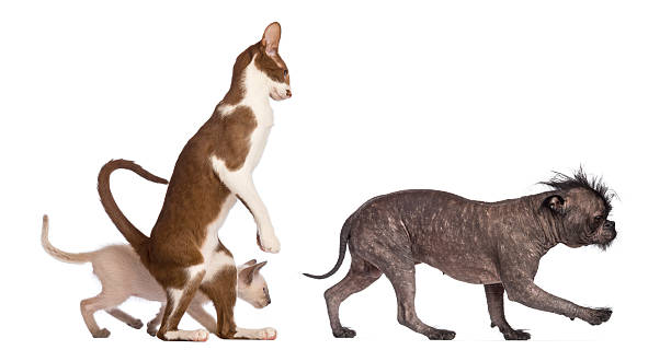 Adult oriental shorthair standing on hinds leg with kitten picture id450596147?b=1&k=6&m=450596147&s=612x612&w=0&h=kvdgpgoj74fimrc8mbs63ryj98a8htwlgfhngnvpdl4=